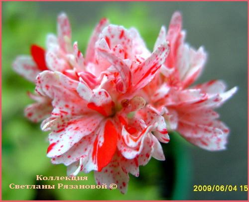 Полумахровые лососево розовые цветы