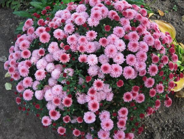 Фото какие цветы цветут осенью 146
